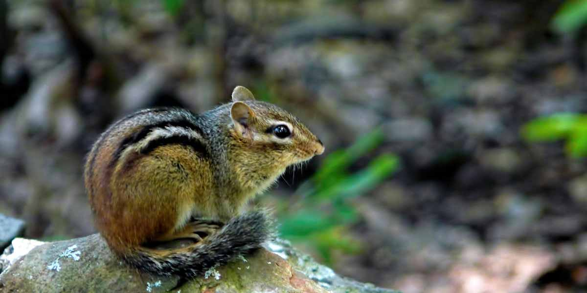 Chipmunk Removal Chipmunk Control How To Get Rid Of