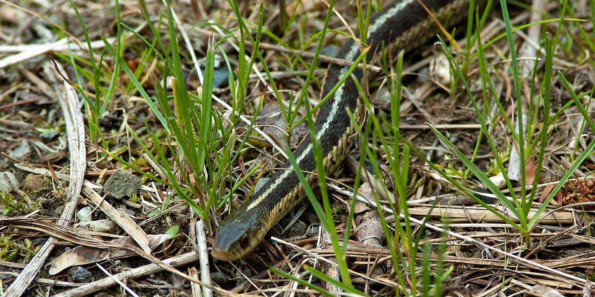 Snake Removal Snake Problems Get Rid Of Snakes