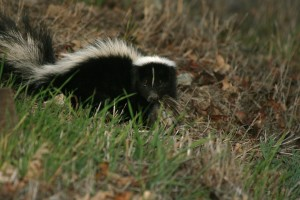 Let our skunk control experts handle the skunk removal for you.