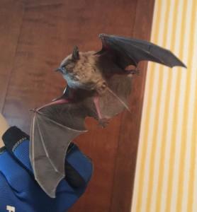 Live bat