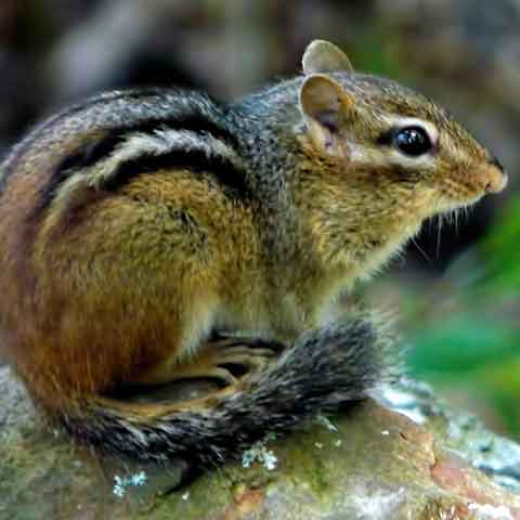 Our chipmunk control experts can take care of your chipmunk removal.