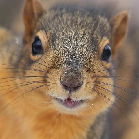 Need red squirrel removal in Minneapolis?