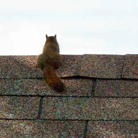 Let us get rid of the squirrels in the attic for you.