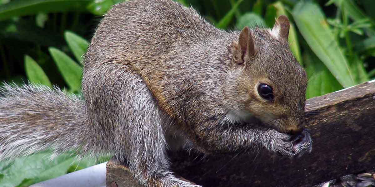 Squirrel removal in minneapolis