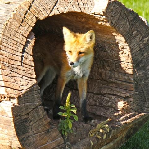 Professional fox removal service