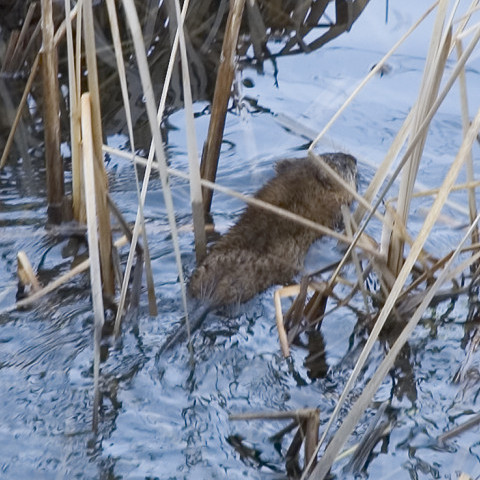 Our muskrat removal service will help you get rid of muskrats.